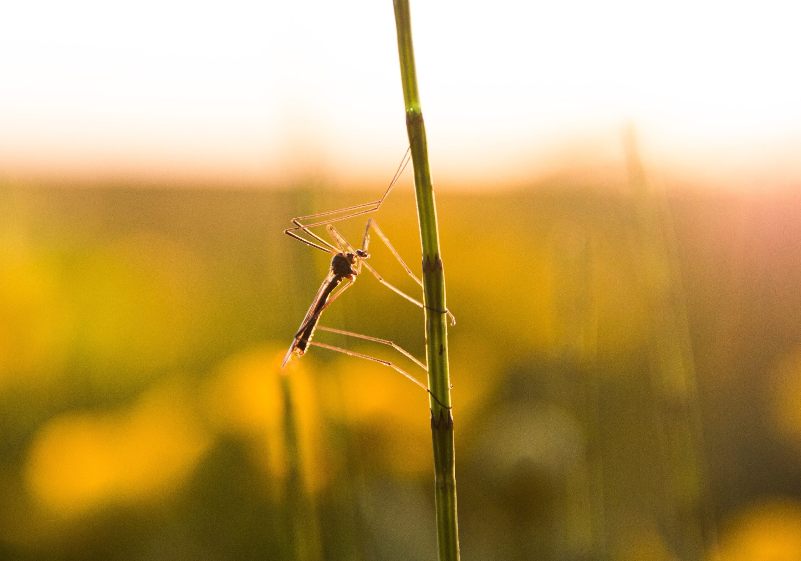A grafén szövet megakadályozza a szúnyogok harapását
